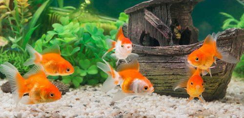 Acuario de Goldfish