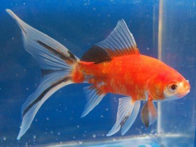 Pez shubunkin