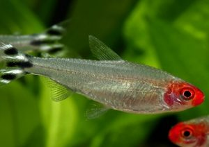 Tetra Borrachito