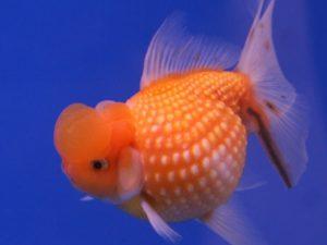 Goldfish Perla