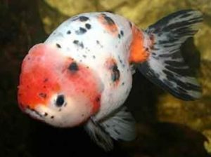 Goldfish Ranchu