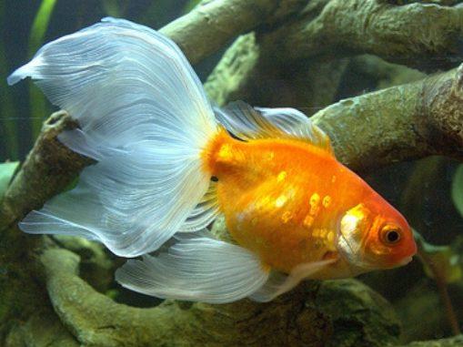 Goldfish cola de velo