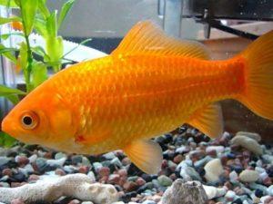 Goldfish común