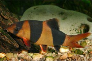 pez Locha
