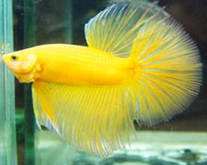 Pez Betta Amarillo