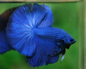 Pez Betta Azul
