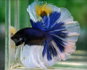 Pez Betta Mariposa