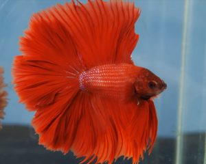 Pez Betta Rojo