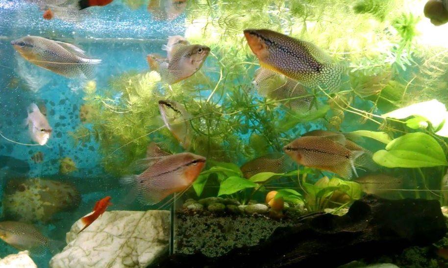 Gurami acuario