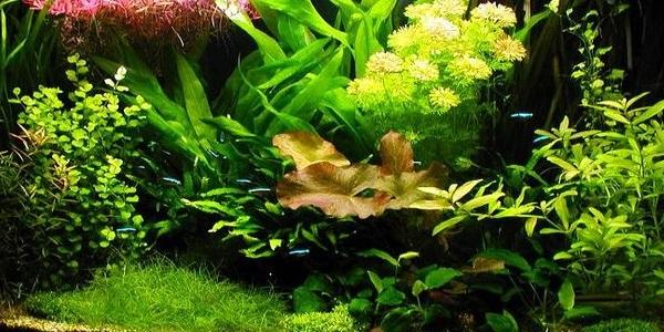 Plantas del acuario holandés