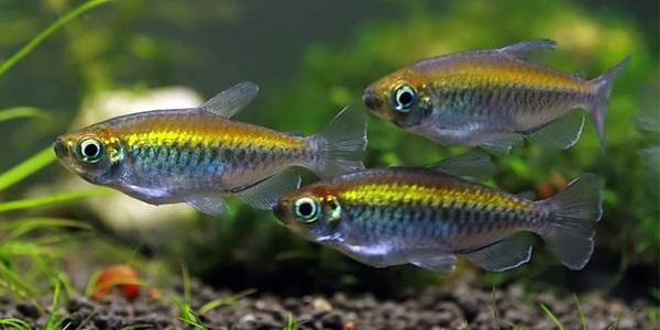 Peces para acuario holandés