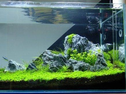 Plantas del acuario japones iwagumi