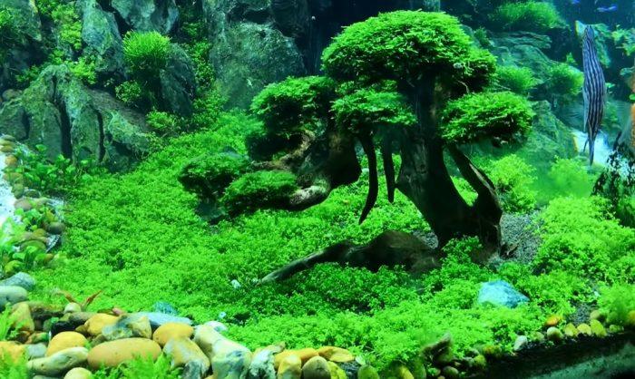 Plantas naturales para acuario