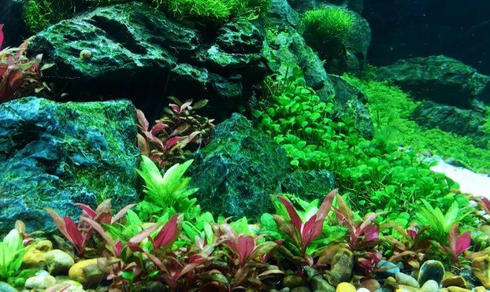 Plantas tapizantes acuario