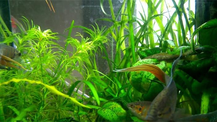 Acuario de peces del paraiso