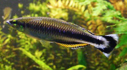 Pez Arcoiris de Madagascar